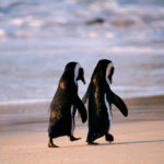 african_penguins,_walking_hand_in_hand,_south_africa